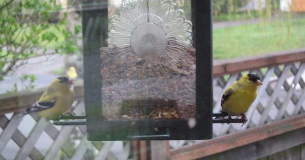 A pair of goldfinches at the bird feeder