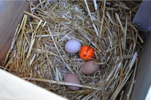 Three fresh eggs and a decoy