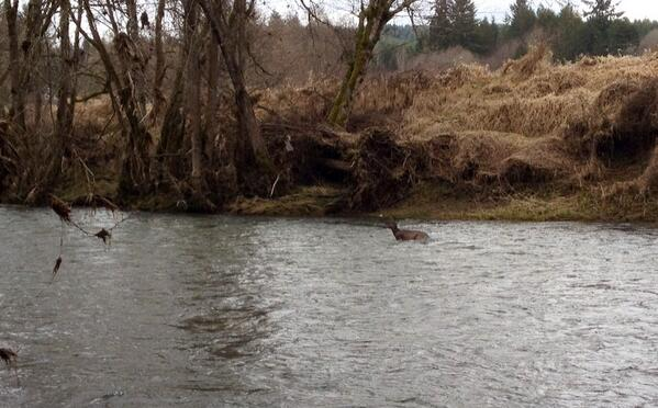 Tweet: Steelhead fishing on the Nehalem when a deer swims…
