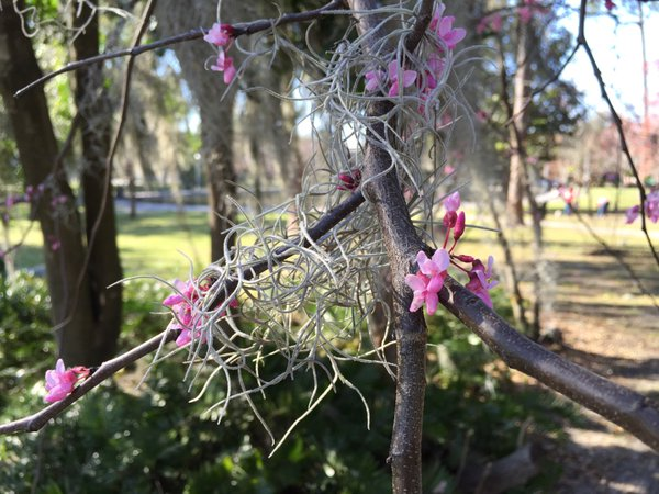 Tweet: Spring and Spanish moss. https://t.co/FE9dos9BNB