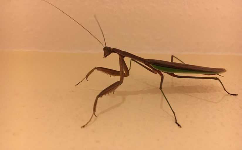 Tweet: Our cat brought this mantis in on Sunday. It's bee…