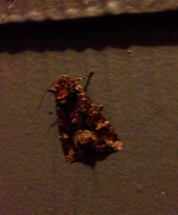 Tweet: This moth has a monkey (face) on its back. http://…